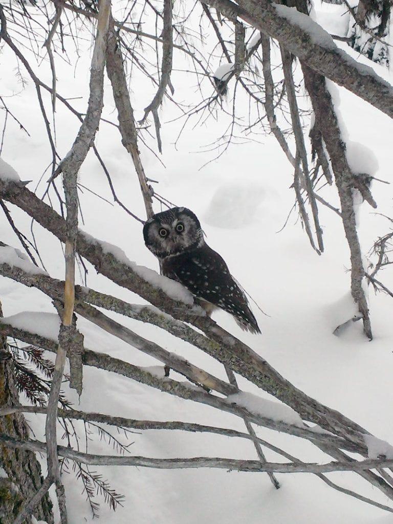 Baby-owl-woods-revelstock