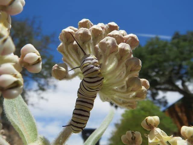 milkweed-flower