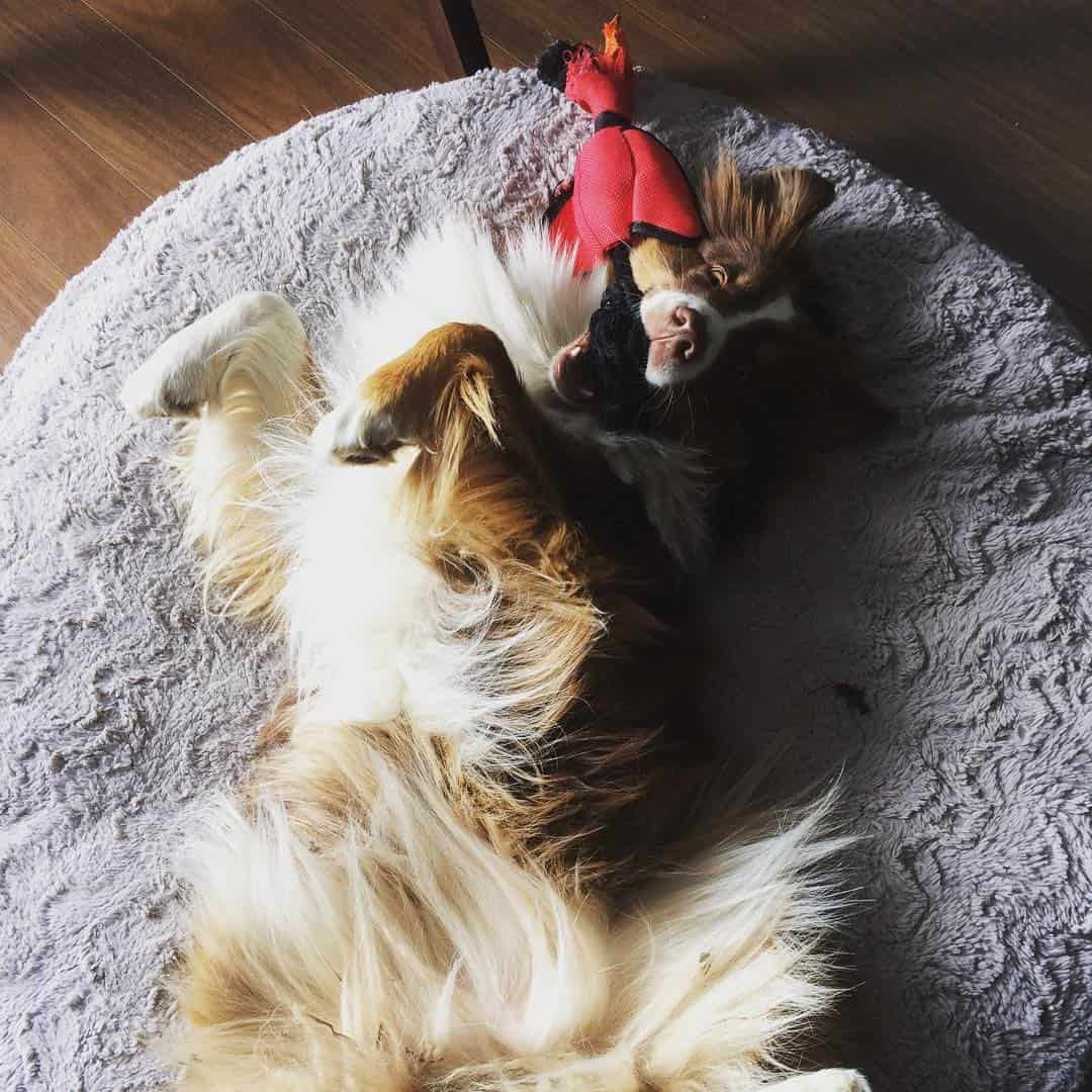 chien-jouets