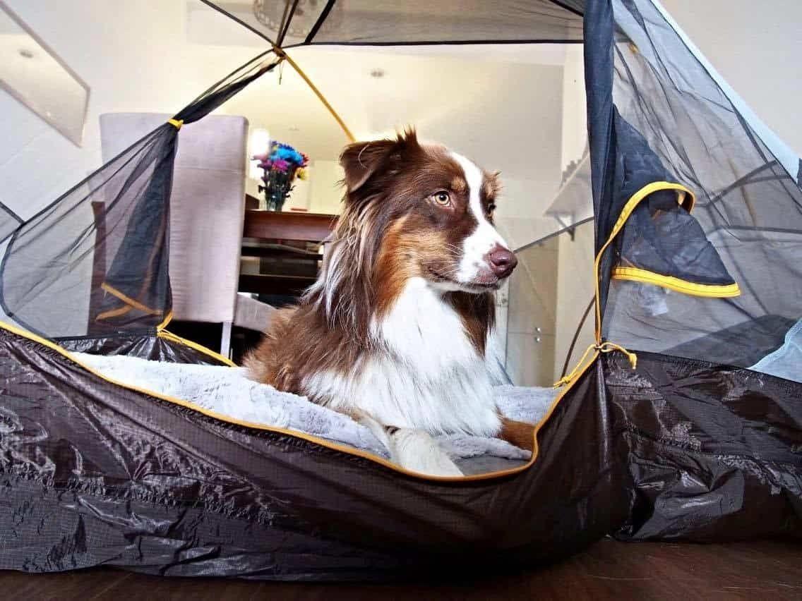 chien-tentes