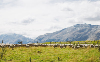 Icebreaker. Counting Kate's Sheep at a Remote New Zealand Station with Icebreaker.