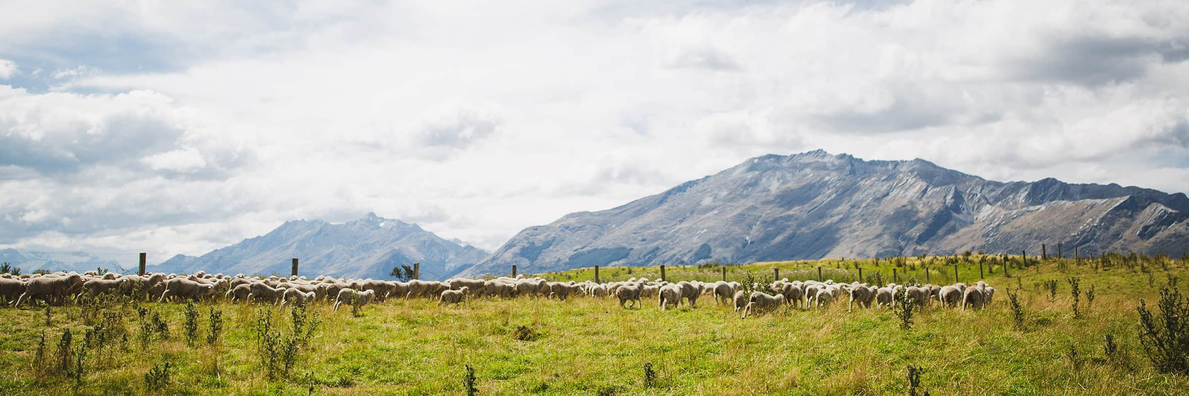 Counting Kate's Sheep at a Remote New Zealand Station with Icebreaker
